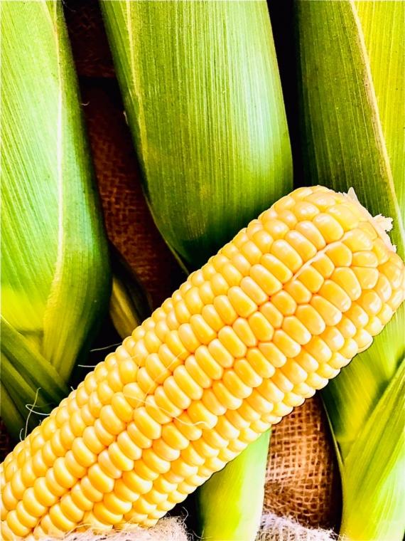北海道産とうきび(とうもろこし)黄色10本セット 低農薬栽培