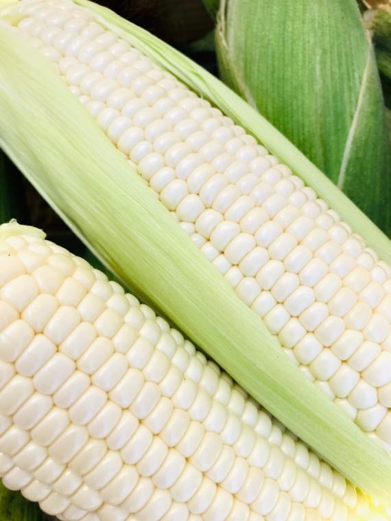 【高温少雨の影響でお待たせします】!北海道産とうきび白(ピュアホワイト)10本セット 低農薬栽培