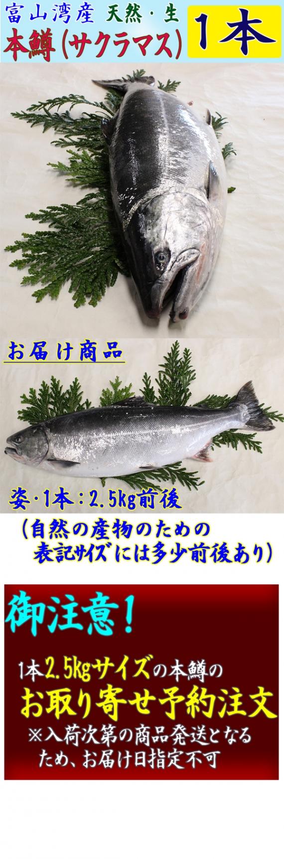 【2016年5月−販売予定】*送料無料 | 5/17迄の特別価格での予約注文*【富山湾産】天然・本マス(サクラマス)姿1本−2.5kg前後<天然・生>・・・ます寿司で知られる富山。