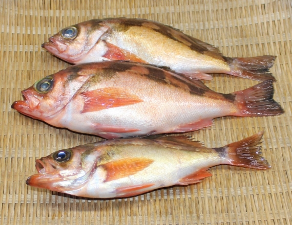 ウスメバル・オキメバル(富山県魚津市:ヤナギバチメ / 富山県氷見市:チャバチメ) 姿<天然・生>【富山湾産】・・・・・かつては比較的庶民的な値段の魚だったが、煮付け・新鮮
