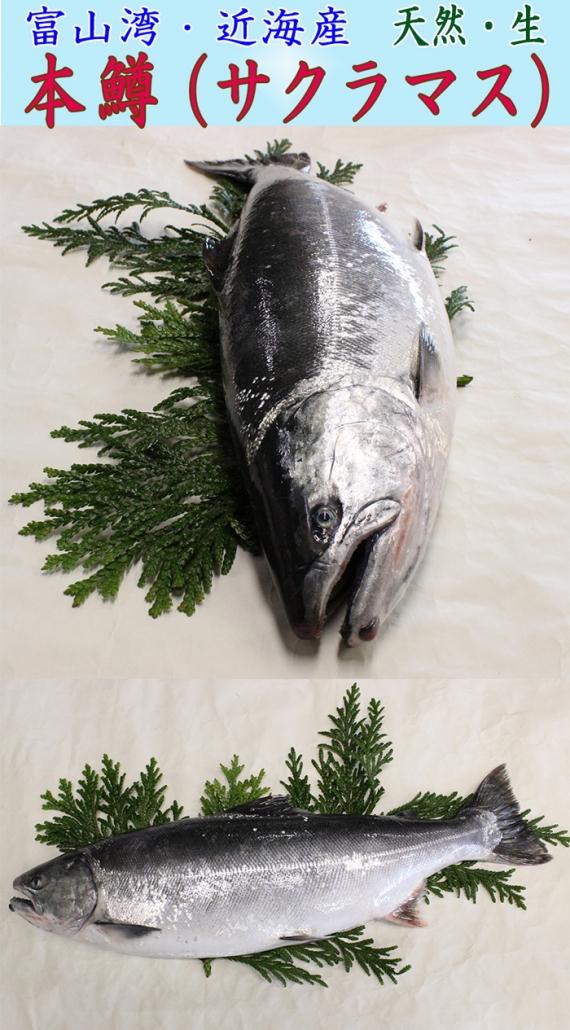 本マス・桜鱒(サクラマス)  二枚おろし<天然・生>【富山湾/近海産】・・・かつては、日本一の水揚げ量で『ます寿司』が特産品。しかし、今では水揚げ量も少ないため、『幻の高級