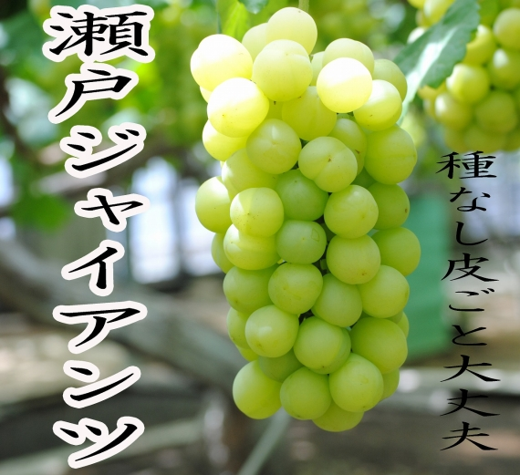 【秋の味覚】(訳ありだけど味は美味しい)瀬戸ジャイアンツぶどう(2房入り)岡山県特産