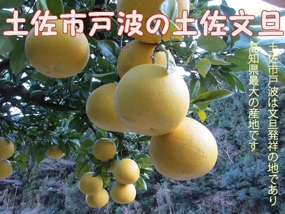 【送料無料】土佐市戸波産・路地土佐文旦10KG 特大4Lサイズ(17玉前後入り)